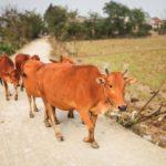 国境で箒の大渋滞 原因は魔術牛